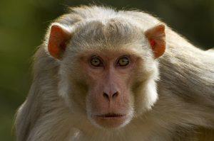 monkey-kills-newborn-in-agra